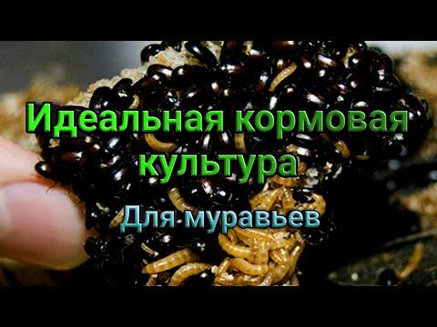 Идеальная кормовая культура для муравьев. Жук знахарь. Описание и содержание.