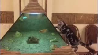 Американская короткошерстная /American Shorthair kitten Породы кошек