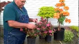 Pruning Azalea Bushes