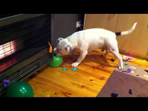 CRAZY dog pops 75 balloons