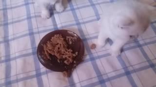 первый прикорм британских котят -1 месяц
