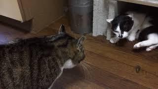 意地悪猫の花子、いじめられて発狂した白黒猫は・・・