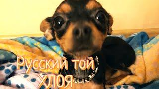 Русский той Хлоя: как выросла наша собака