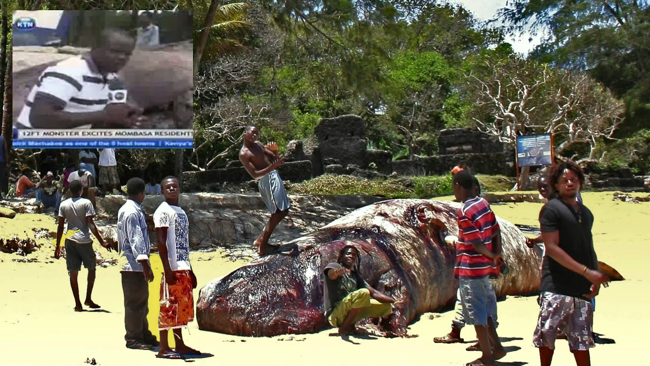 The Sperm Whale Of Mtwapa (Kenya, Mombasa).