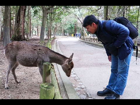 POLITE Bowing Deer of Nara Japan