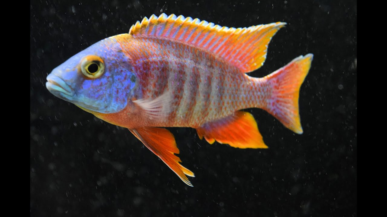 """African Peacock Cichlid """"Icebreaker"""" Colony - YouTube"""