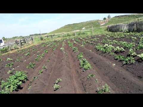Картофельное поле после окучивания дисковыми окучниками.