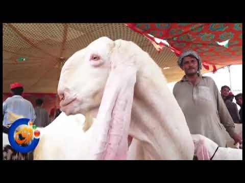 Beautiful Animals in Rajanpur Cattle Market