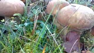 Білі гриби в купі 60 штук / Ceps in a pile 60 pieces