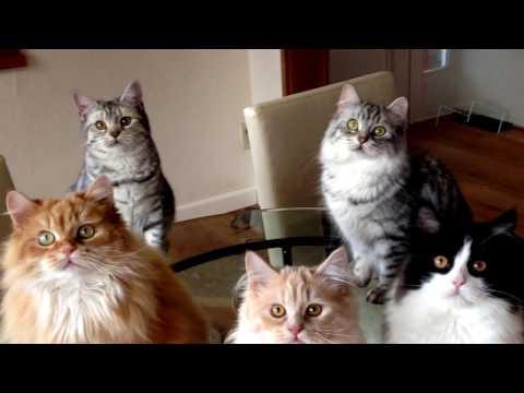 кошки кимрик фото