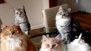 Порода кошек. Кимрик. Красивая и добрая кошка.С очень сложной историей появления.