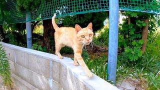 塀の上を歩いてモフられに来る茶トラ猫がカワイイ