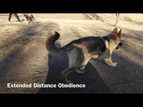 Best German Shepherd Dog Trainers in Colorado! 5-Month-Old GSD Chato and his Before and After Video.