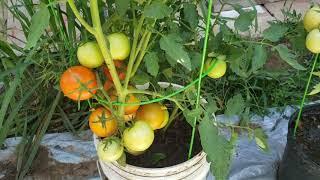 Cách trồng cây cà chua trong chậu, cho nhiều trái🍅🍅🍅🍅🍅