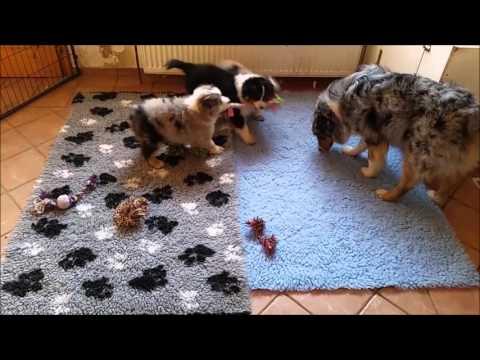 Australian Shepherd Puppies 8 weeks old - playing