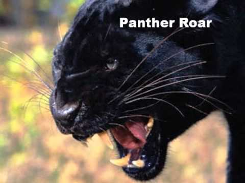 Panther Roar Sound Effect