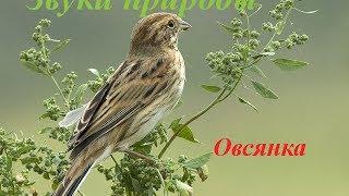 Звуки природы для детей ♪ Голоса птиц для детей ♪ Овсянка