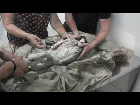 Shot juvenile Greater Flamingo retrieved from Ħal Far