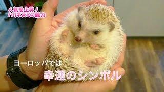 人気急上昇!ハリネズミの魅力に迫る~『かわいい動物大集合♥vol.3』