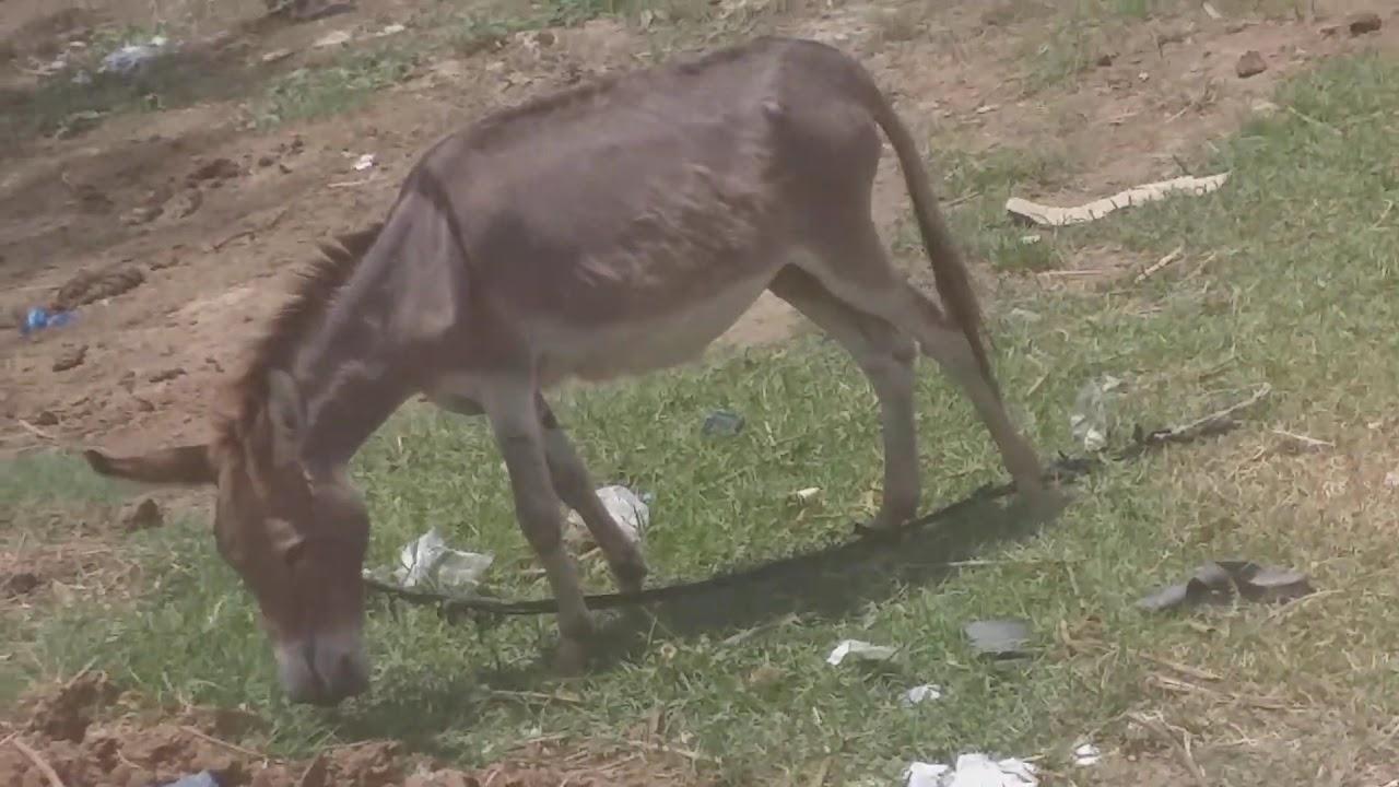 Super murrah donkey meeting first time