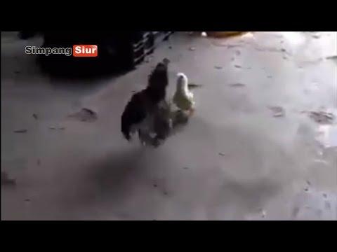 """Aksi Hebat """"Anak Ayam Bernyali Harimau"""" Lawan Induk Ayam"""