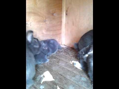 Кролики.Венский голубой 5 месяца - YouTube