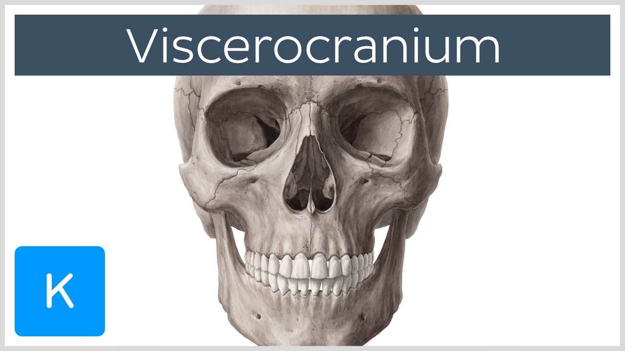 Viscerocranium - Location, Function and Definition - Human Anatomy ...
