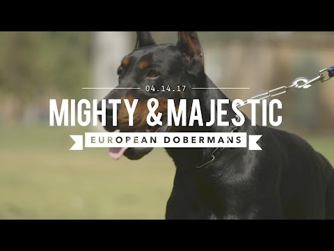 THE EUROPEAN DOBERMAN PINSCHER: MIGHTY & MAJESTIC
