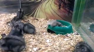 Back flipping hamster