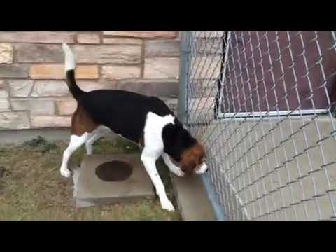 male adult north country beagle