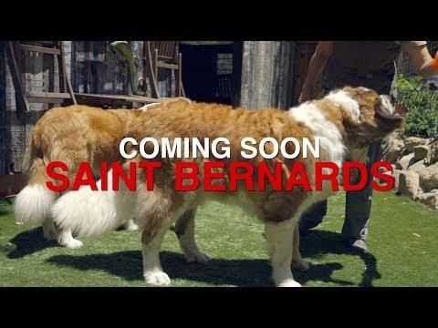 SAINT BERNARDS ARE COMING...