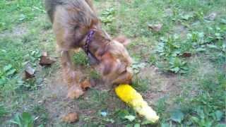 Border Terrier Eating Corn On The Cob