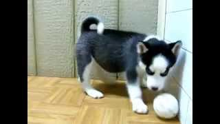 Siberian Husky Puppy For Good Home