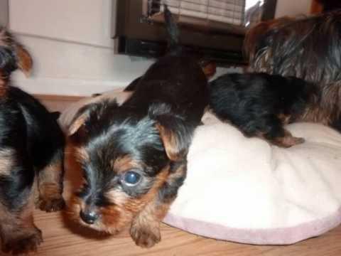 Yorkshire Terrier Puppies 5 Weeks Old - YouTube Yorkshire Terrier 5 Weeks Pregnant