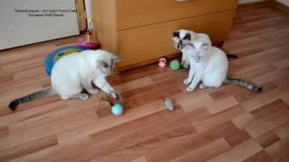 Как тайские кошки играли новой игрушкой согласно иерархии! Улётное видео! Тайские кошки - это чудо!
