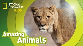 African Lion 🦁 | Amazing Animals