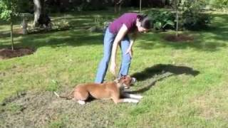 "Pit Bull ""sunny"" Training - Drop On Command, Sit, Down, Stay"