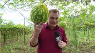 Produtor aposta no plantio vertical de melancia em Toledo