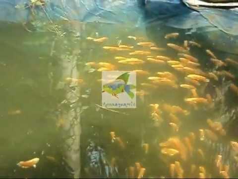 Anna Aqua Pets Ornamental Fish Farm In Kottat Chalakudy