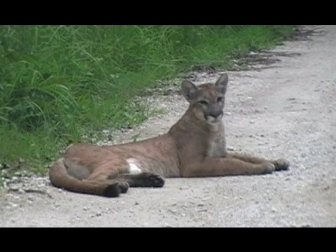 Florida Panther Encounter - 7/5/2014