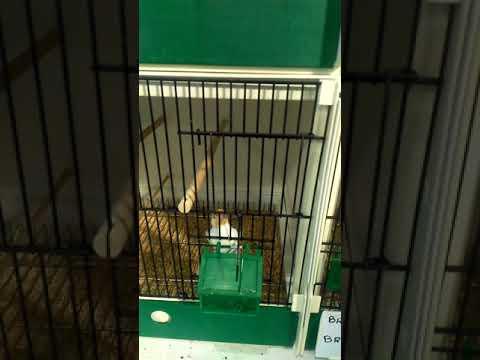 Salem a3likom  des chardonneret d'un ami à moi à   l'exposition D'istres  C'est des très beau oiseau