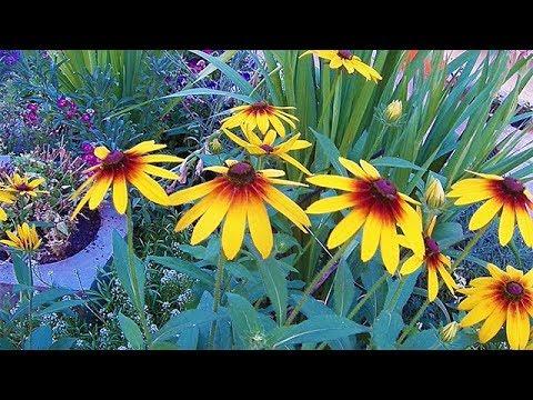 Siyah Gözlü Susan Çiçeği Yetiştirmek Bakım ve Özellikleri - YouTube