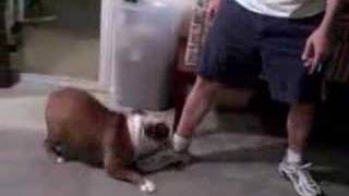 Bulldog Zoomies