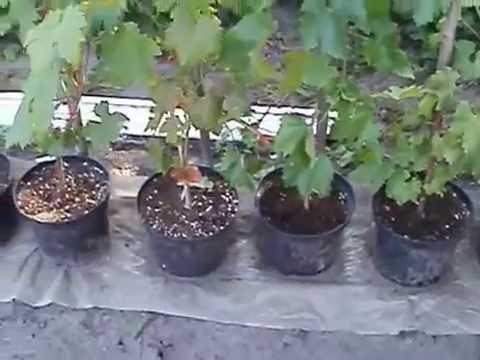 Саженцы декоративных растений Украина 2017 - YouTube