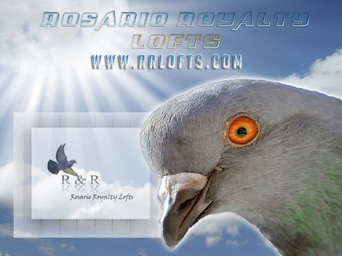 ipigeon Gala day 2 Ganus Bird 46k