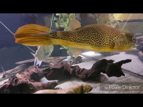 "Ohio Fish Rescue New 24"" MBU puffer"