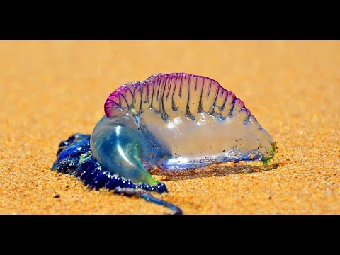 If You Notice A Beautiful Purple Thing On The Sand This Summer, Run Away...