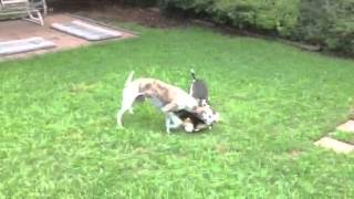 Whippet, Italian Greyhound And Min-pin Playing With Toy