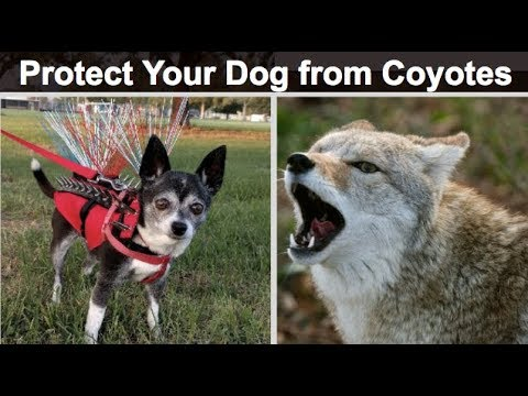 Protect Your Dog From Predators - Coyote Vest Review