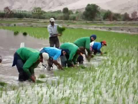 plantadores de arroz .camaná,pucchún